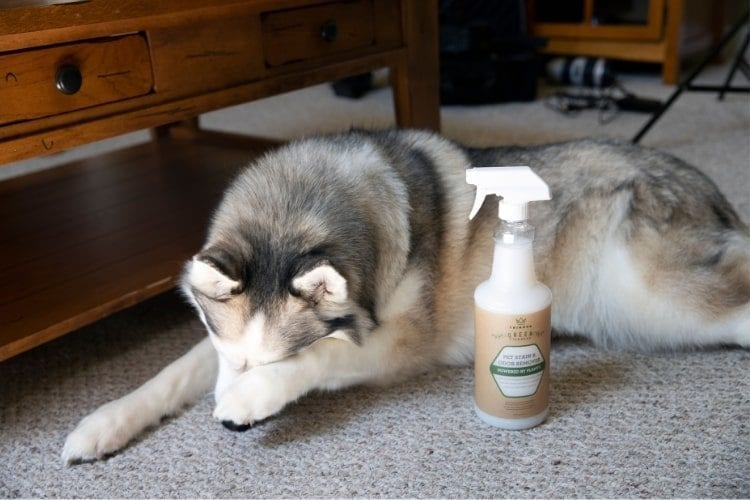 Dog ashamed with bottle of TriNova® All Natural Pet Stain and Odor Remover