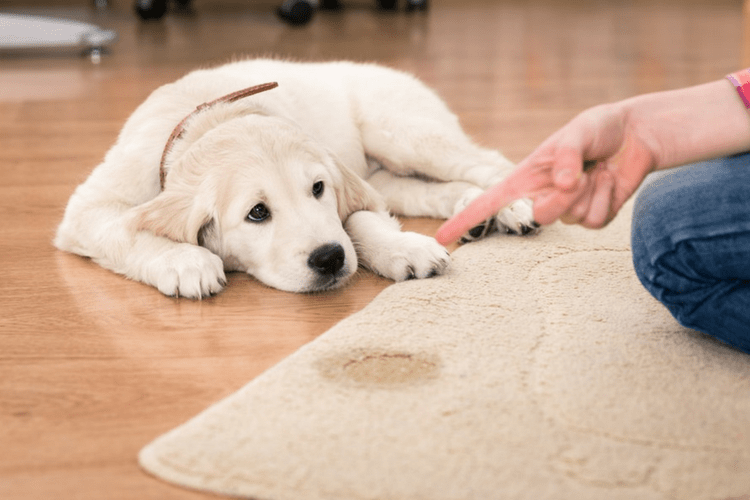 There are many reasons why your dog may be urinating in the house.
