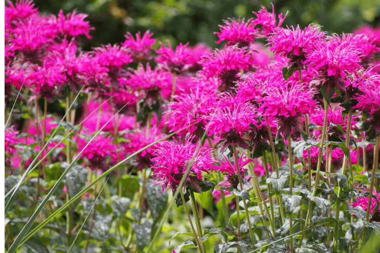 Bee Balm is a great perennial to plant for Bees to enjoy throughout the summer.