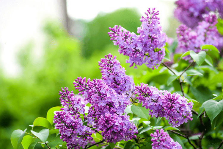 Planting Lilac will help attract bees to your garden in the spring.