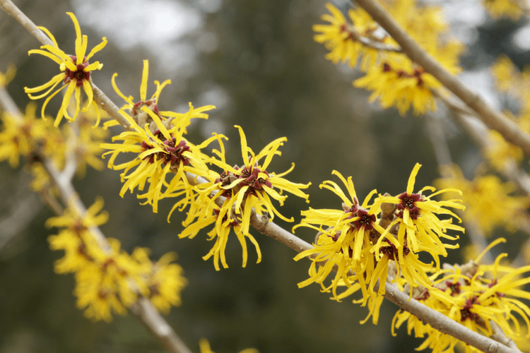 Witch Hazel is a colorful addition that helps bees continue to feed through the fall.