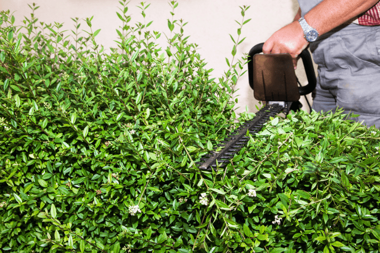 trimming overgrown evergreen bushes gold eagle