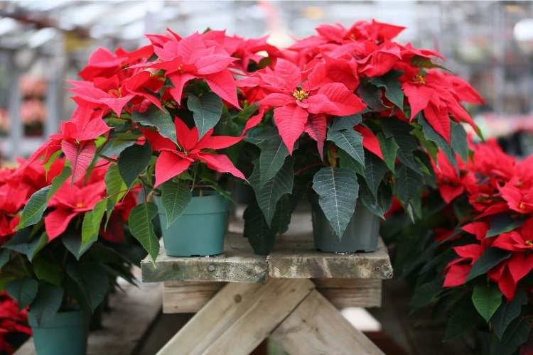 Poinsettias are a distinctive red flower commonly seen around the holidays. However, this too can cause vomiting and diarrhea in pets.