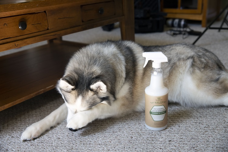 Pet Stain with ashamed dog min